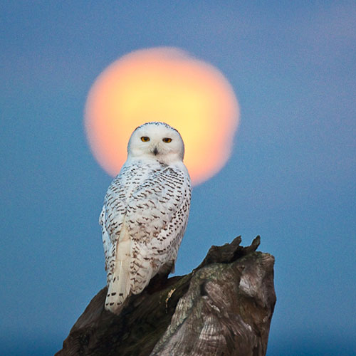 snowy owl with sun behind head